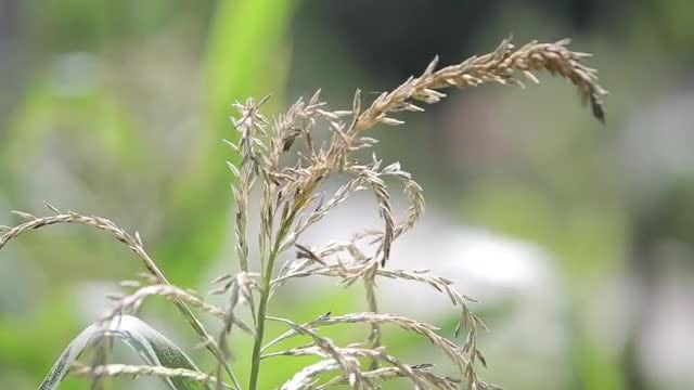 Corn Tassel: Stock Video