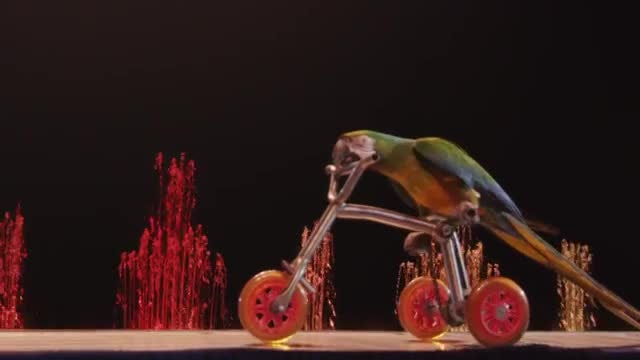 Macaw Riding Tricycle In Circus: Stock Video