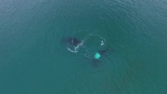 Two Whales At Kangaroo Island: Stock Video
