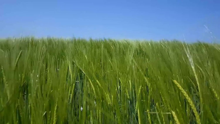 Green Wheat In The Field: Stock Video