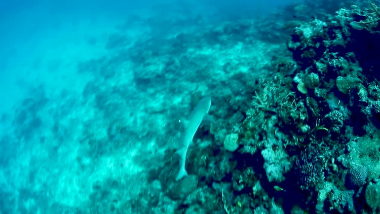 White Shark In Coral Reef: Stock Video