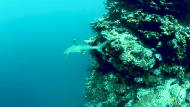 White Shark In Beautiful Reef: Stock Video
