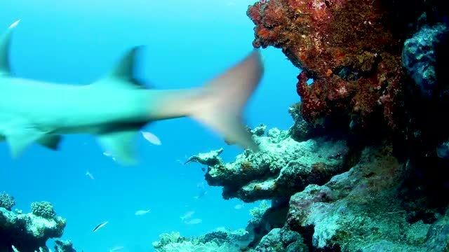 Young White Shark In Reef: Stock Video