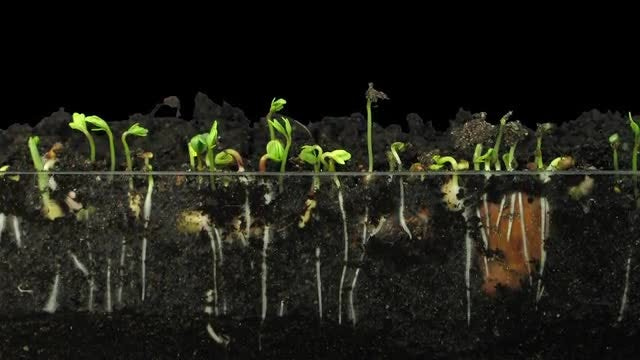 Timelapse of Vegetables Sprouting: Stock Video