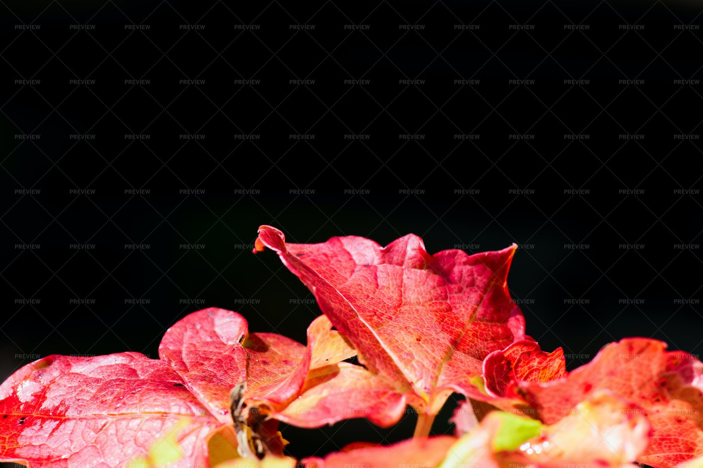 Red Ivy Leaves: Stock Photos