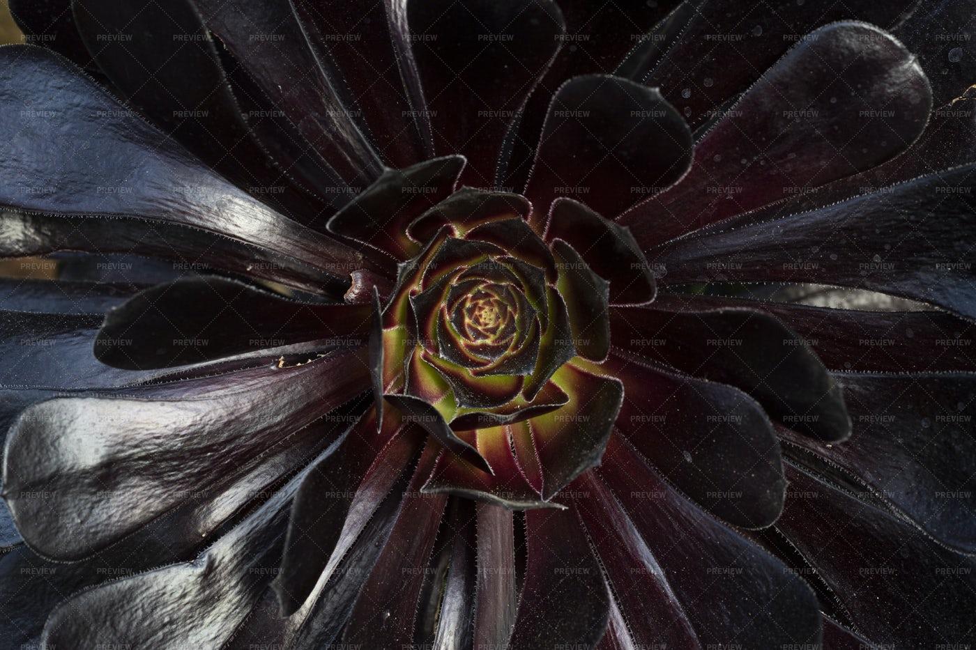 Purple Succulent: Stock Photos