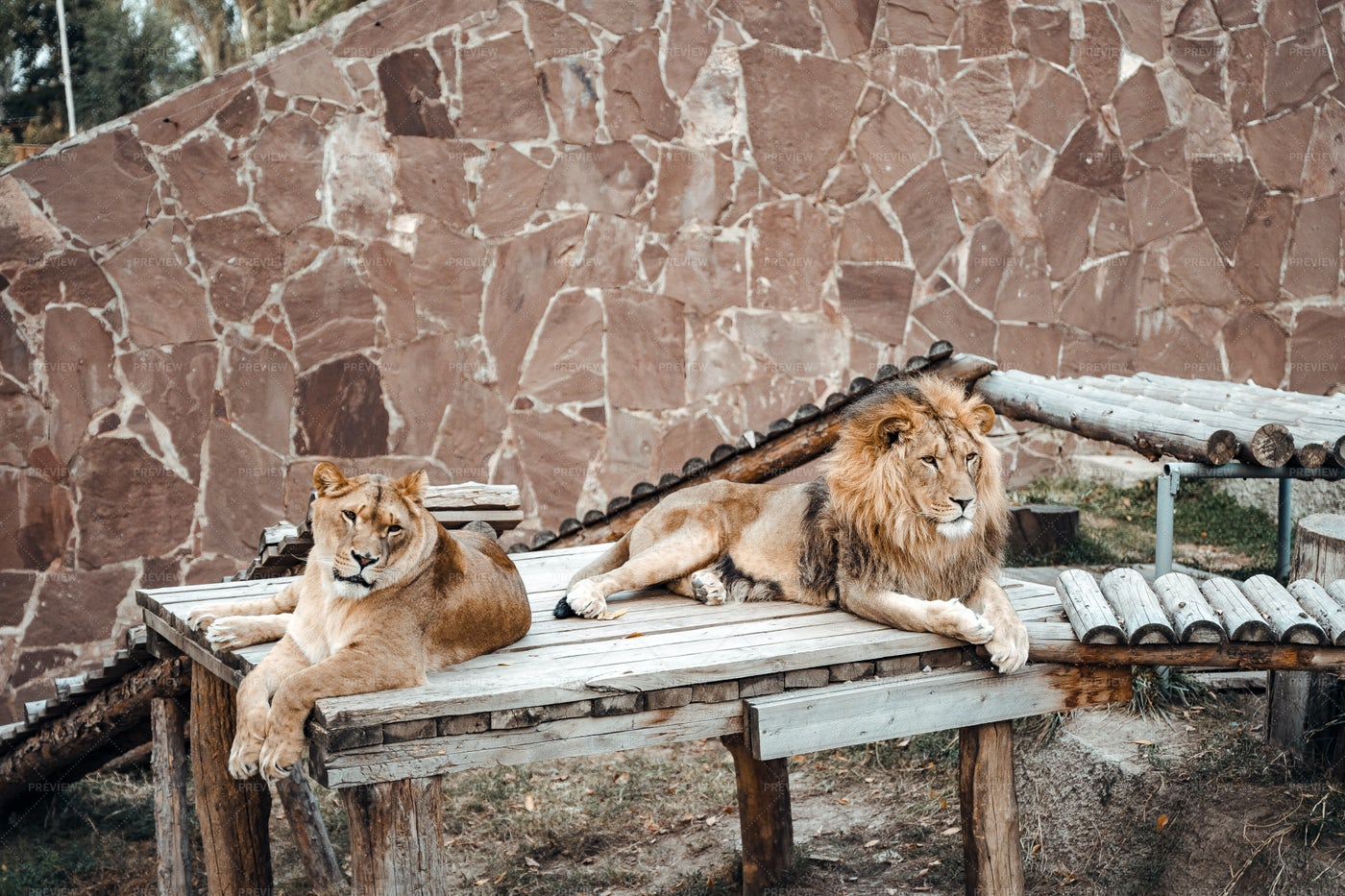 Lion And Lioness: Stock Photos