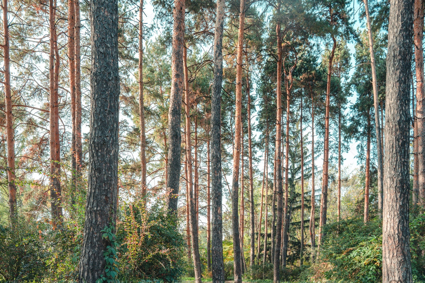Pine Forest: Stock Photos