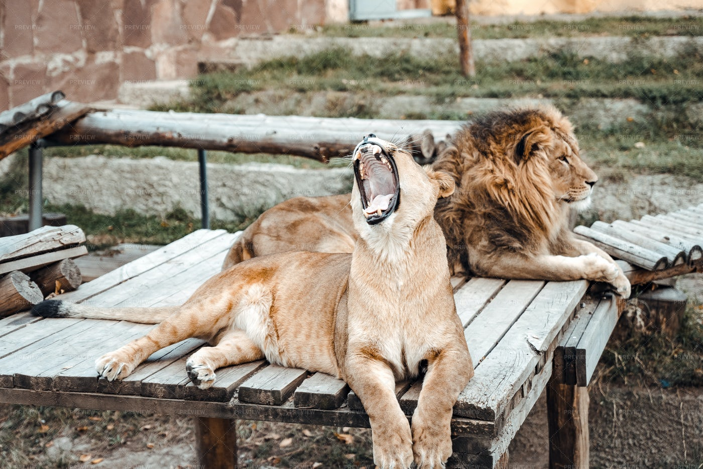 The Lioness Roars: Stock Photos
