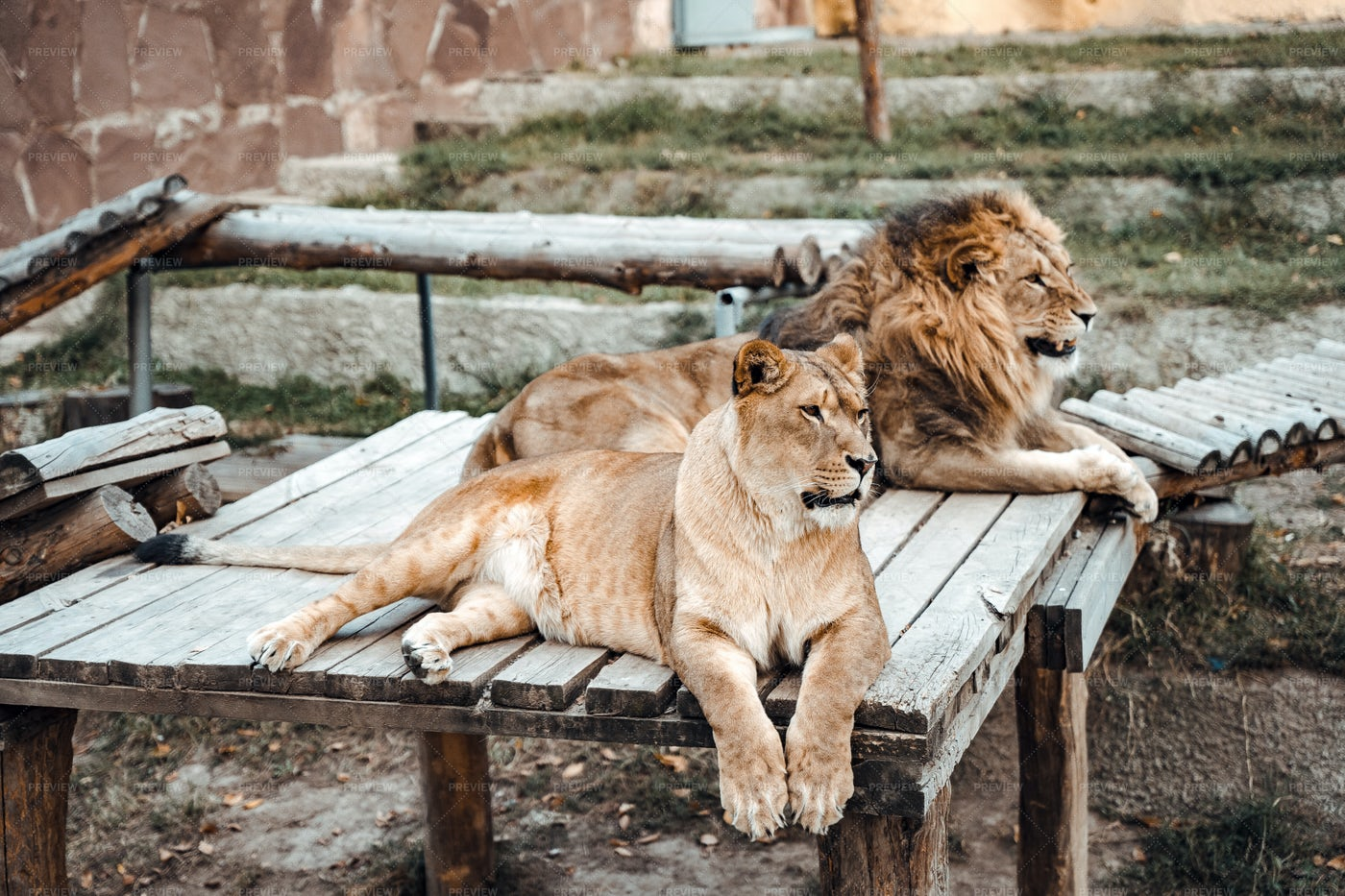 Lion And Lioness In Zoo: Stock Photos
