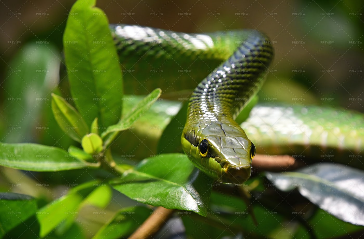 Red-Tailed Rattlesnake: Stock Photos