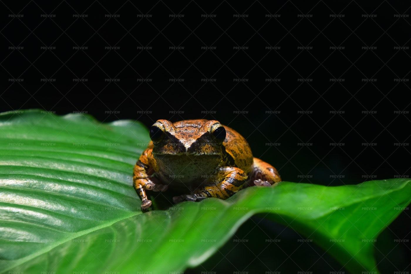 Brown Spot Legged Tree Frog: Stock Photos