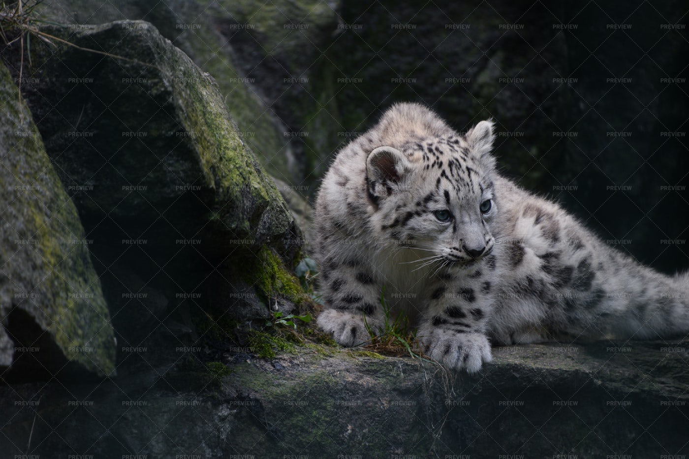 Snow Leopard Cub: Stock Photos