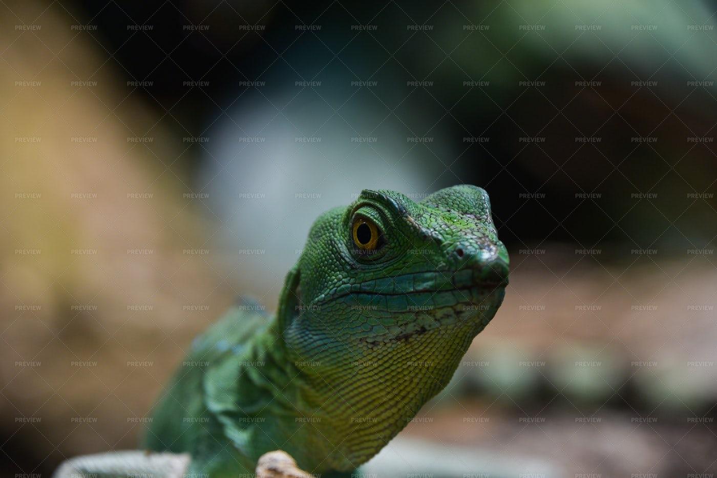 Portrait Of Green Lizard: Stock Photos