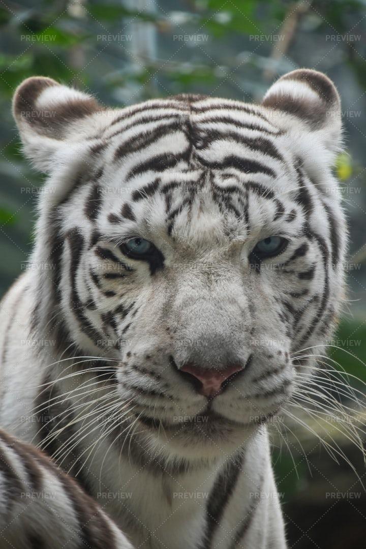Portrait Of White Tiger: Stock Photos