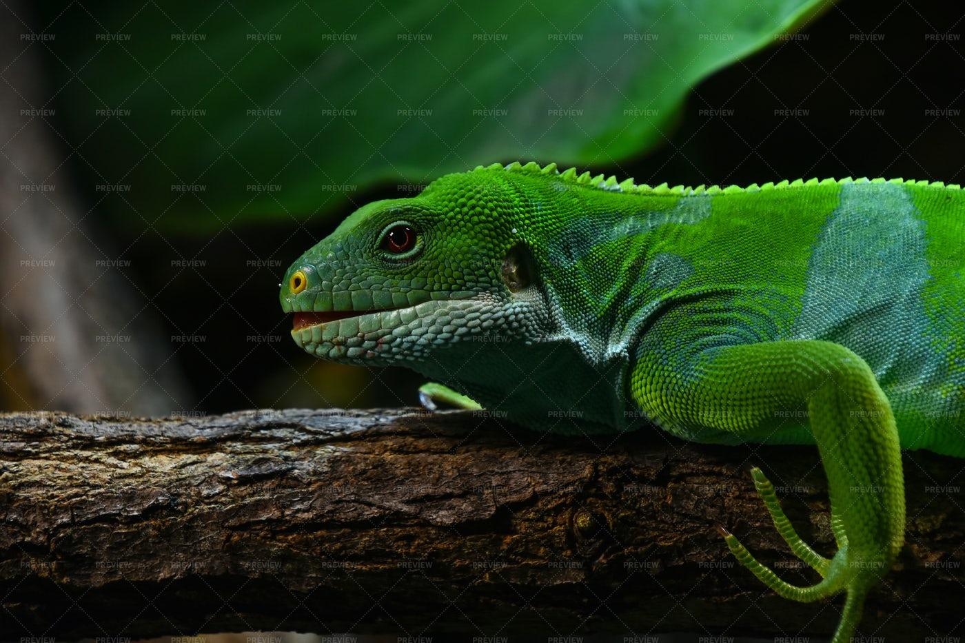Fiji Banded Iguana Lizard: Stock Photos