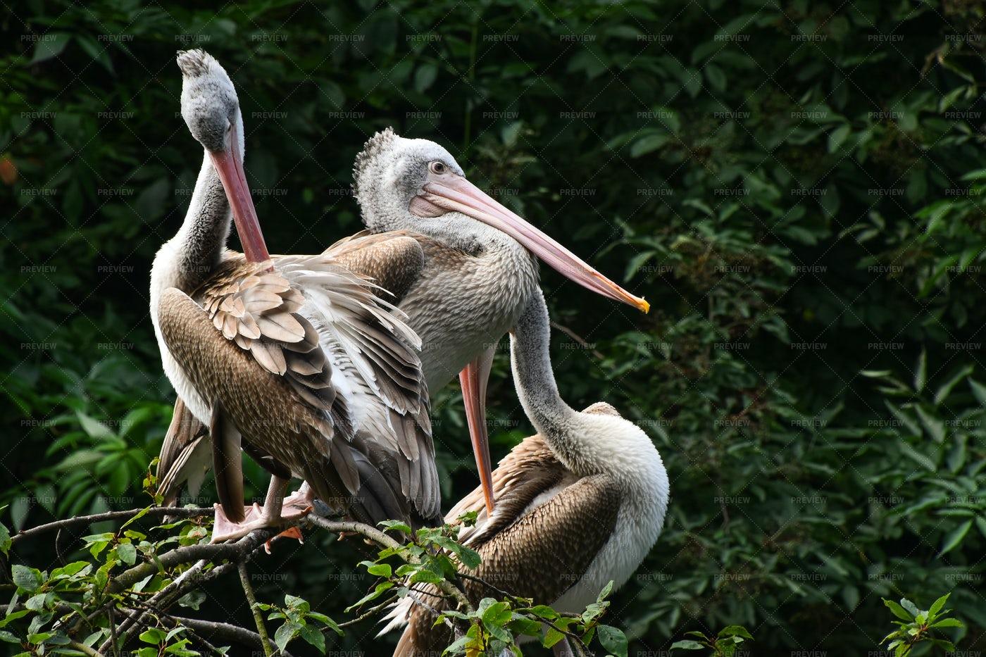 Pelicans Resting On Tree: Stock Photos