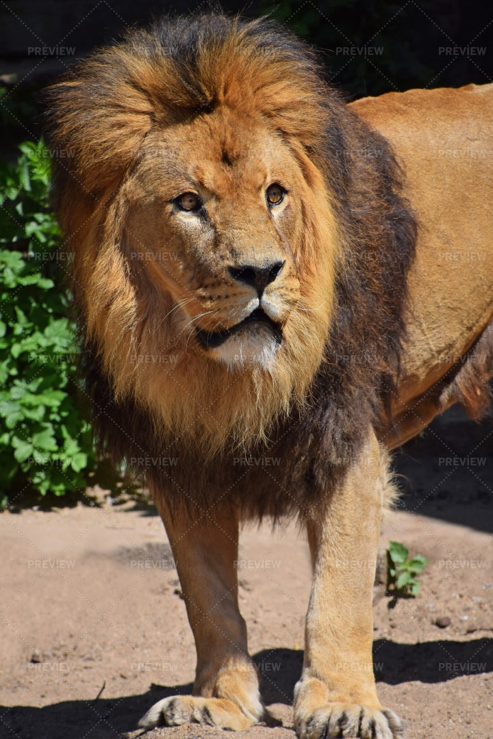 Lion Looking Up: Stock Photos