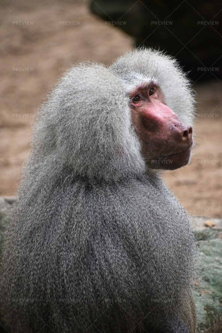 Male Hamadryas Baboon: Stock Photos