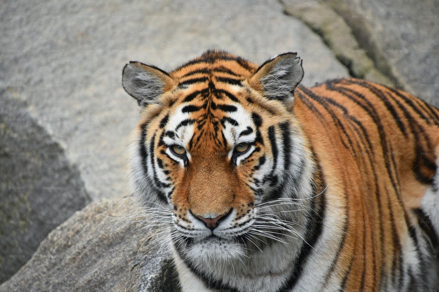 Siberian Tiger: Stock Photos