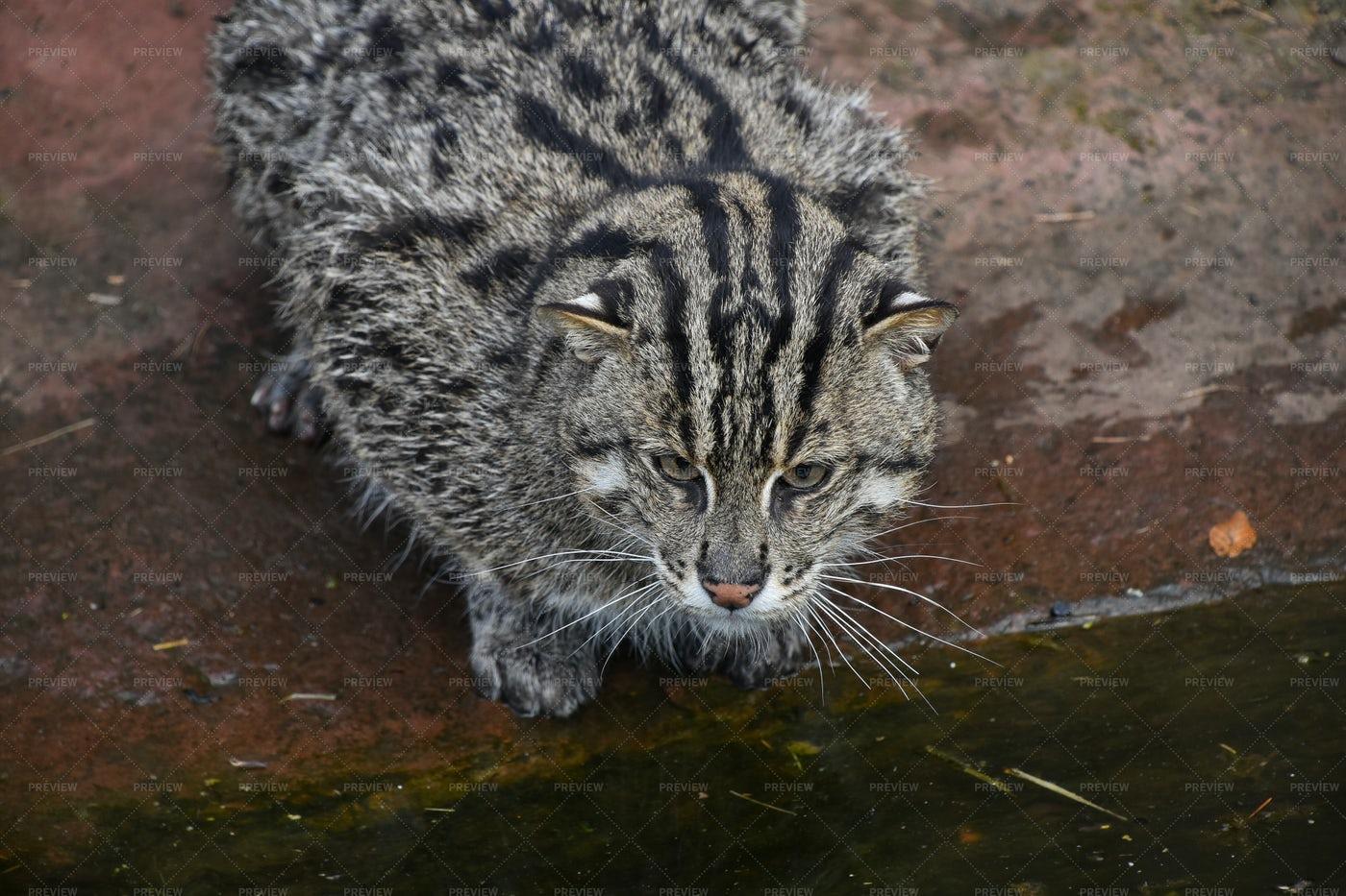 Fishing Cat Looking Away: Stock Photos