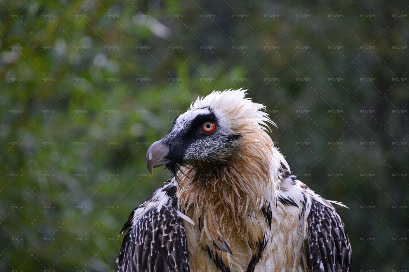 Bearded Vulture: Stock Photos