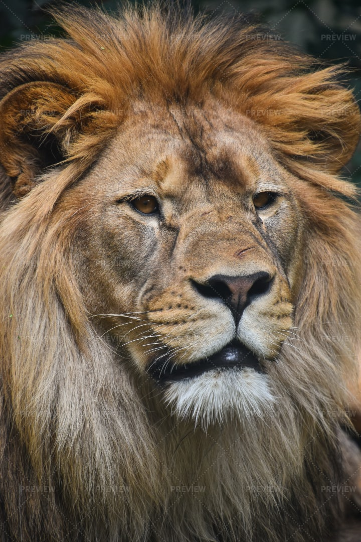 Male African Lion: Stock Photos