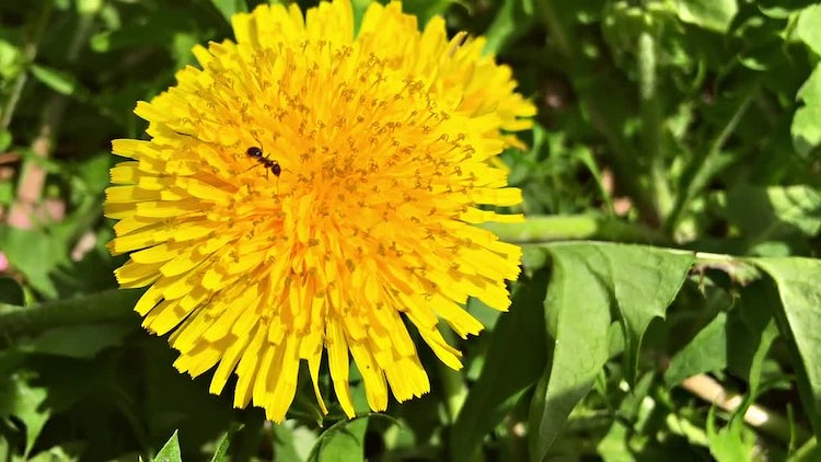 Ant On A Yellow Flower: Stock Video
