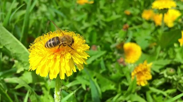 Bee On A Yellow Flower: Stock Video