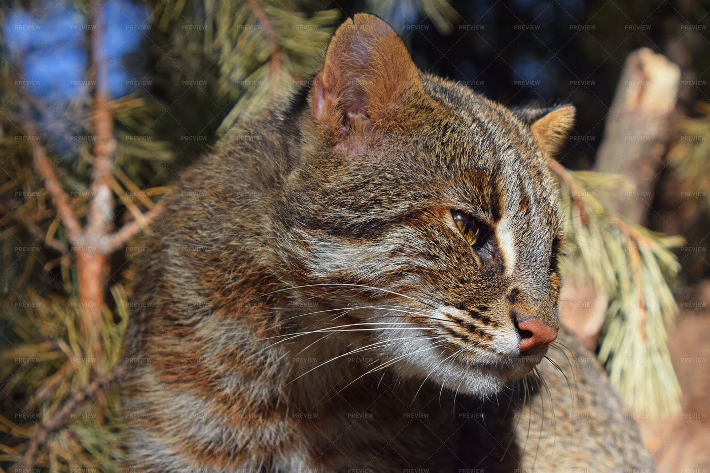Side Portrait Of Fishing Cat: Stock Photos