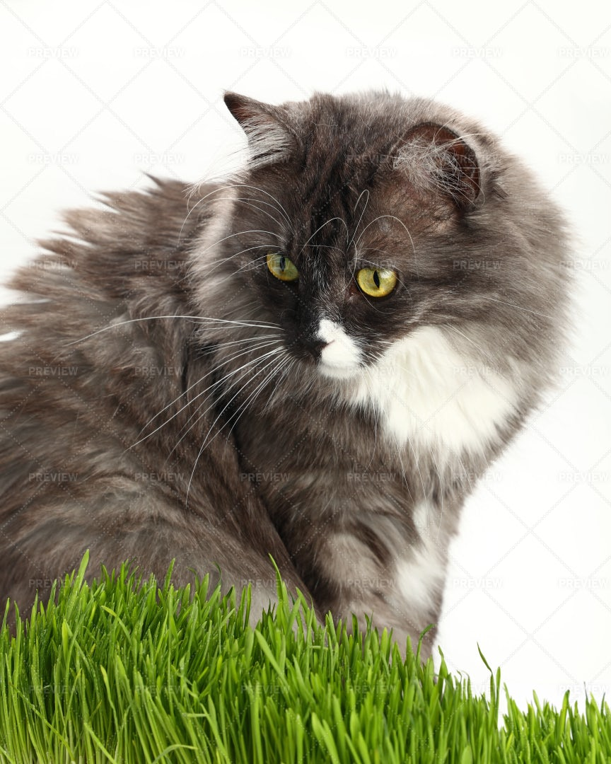 Gray Domestic Cat: Stock Photos