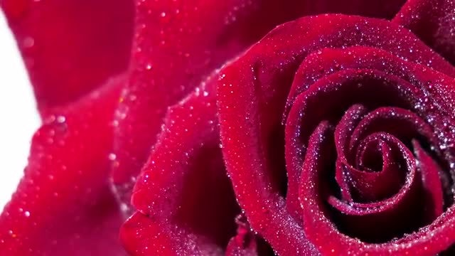 Closeup Of Red Rose And Dew: Stock Video