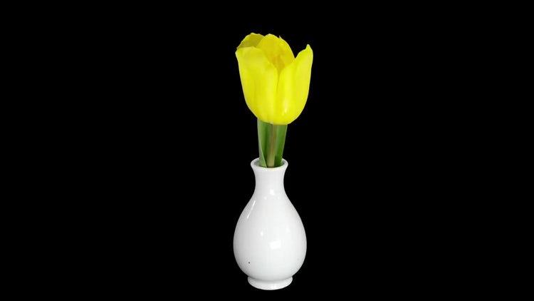 Yellow Tulip Growing In Vase: Stock Video