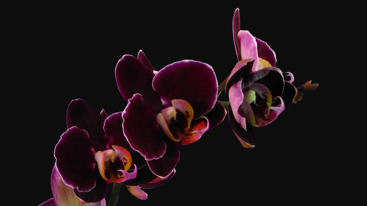 Dark Purple Phalaenopsis Orchids Opening: Stock Video