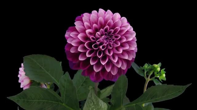 Blooming Dahlia Flower: Stock Video