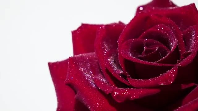 Red Rose Spinning With Dewdrops : Stock Video