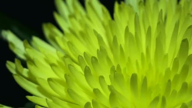 Beautiful Yellow Peony Rotating: Stock Video