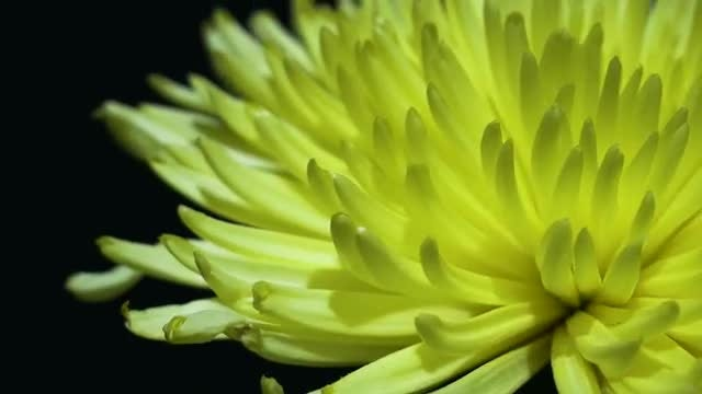 Yellow Peony Rotating Slowly: Stock Video