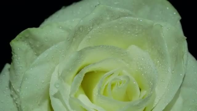 White Rose Macro Pack : Stock Video