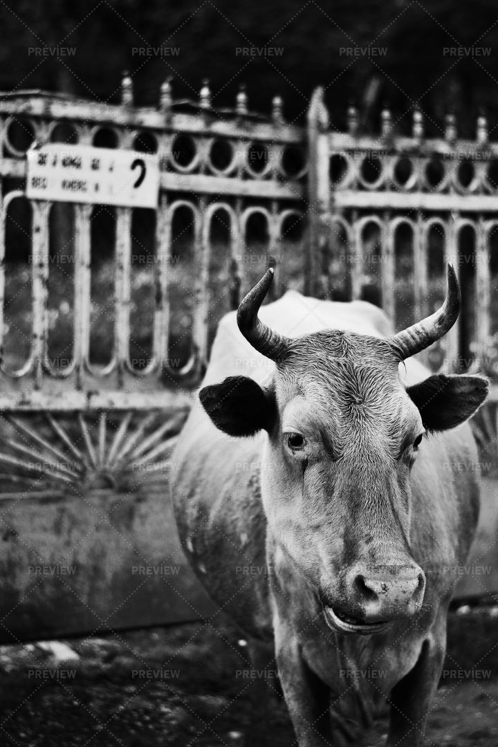 Portrait Of A Cow: Stock Photos