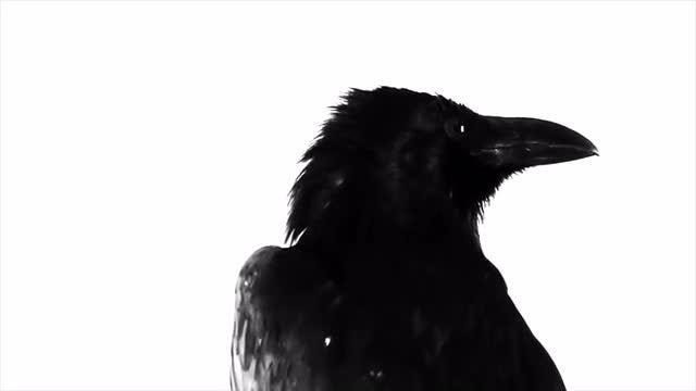 Black Raven: Stock Video