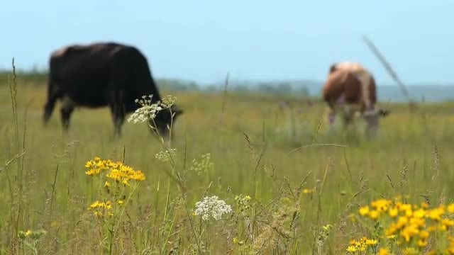 Cows Grazing On Beautiful Meadow: Stock Video