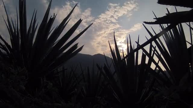 Time Lapse Of Agave Farm : Stock Video