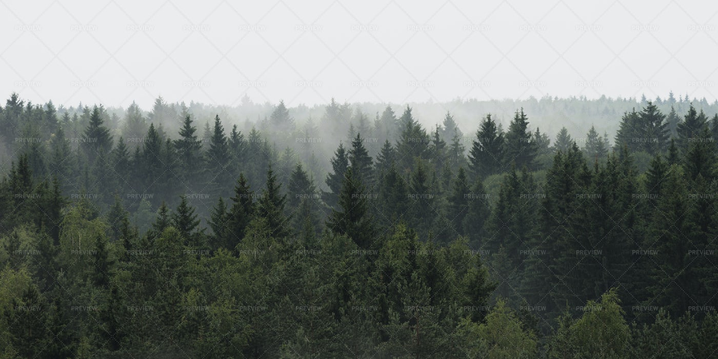 Spruce Forest Panoramic View: Stock Photos