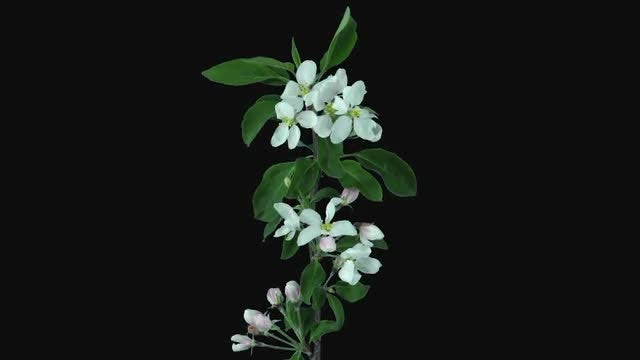 Apple Branch Opening And Blooming: Stock Video