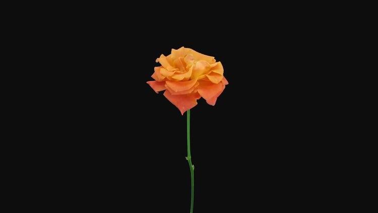 Orange Indian Femma Rose Dying: Stock Video