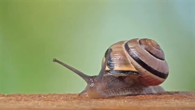 Close-up Shot Of White-Lipped Snail: Stock Video