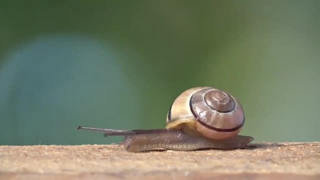 Medium Shot Of White-lipped Snail: Stock Video