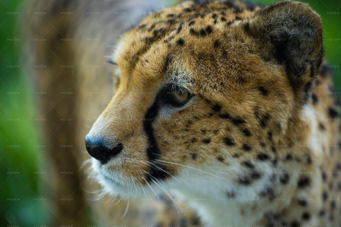 Cheetah: Stock Photos