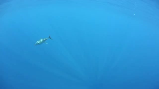 Swimming Yellow Fin Tuna Pack: Stock Video